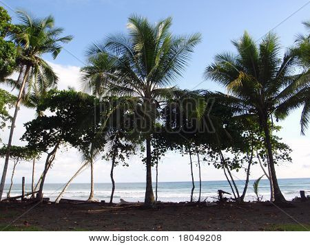 Row Of Coconut Trees With Ocean In Distance