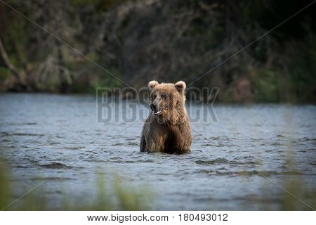 Large Alaskan Brown Bear Wading Through Water