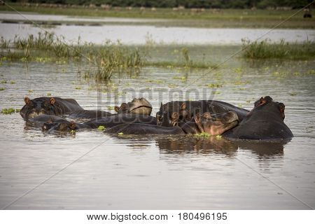 Smiling Hippo In Waters, Lake Manyara, Tanzania