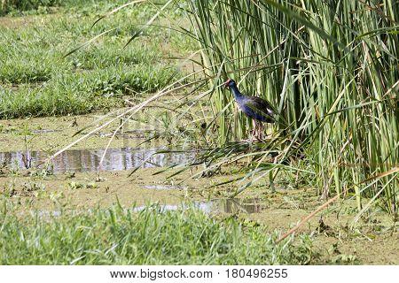 Purple Swamphen, Lake Manyara, Tanzania