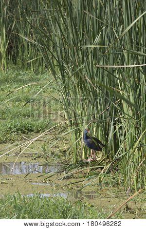 Purple Swamphen In Reeds, Lake Manyara, Tanzania