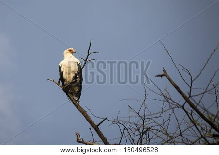 Palm Nut Vulture In Tree, Lake Manyara National Park, Tanzania
