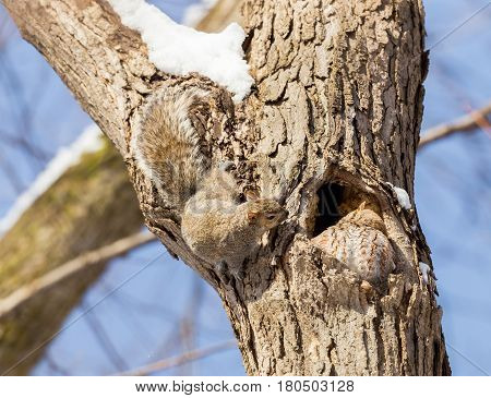 Eastern grey squirrel and eastern red screech owl in close proximity on a tree in a national park in Quebec. These are natural enemies and is rare to see them living on the same tree.
