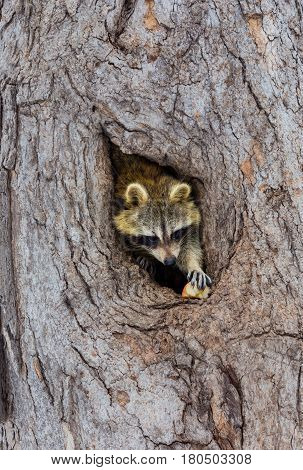 Bandit-masked raccoons looking out from its den in a cavity in an old tree.