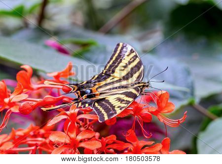 Eastern tiger swallowtail butterfly resting on a background of orange wild flowers.