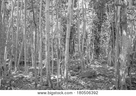 Young Eucalyptus: young Eucalyptus tree, in black and white