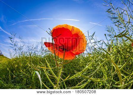 Poppy Flower With Blue Sky In Field