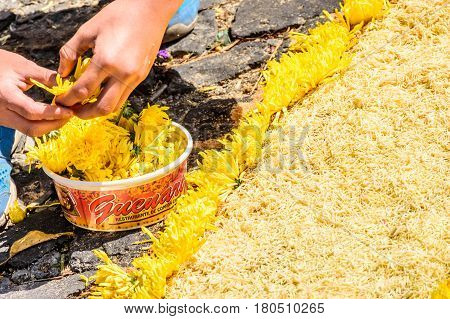 Antigua, Guatemala - March 26 2017: Local decorates Lent carpet for procession with flowers & sawdust in colonial town with most famous Holy Week celebrations in Latin America.