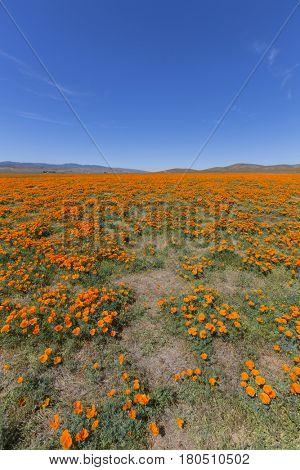 Wildflower field near the Antelope Valley California Poppy Reserve State Park.