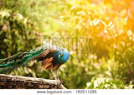 Beautiful Indian peafowl - Pavo cristatus - male (peacock) walking on the roof. Vibrant colors. Beauty in nature. Colored bird. Head with crown