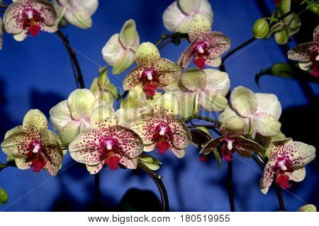 White Purple dots Orchid Moth Phalaenopsis blue background beautiful lovely