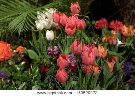 tulip flower plants multiple numerous white and pink