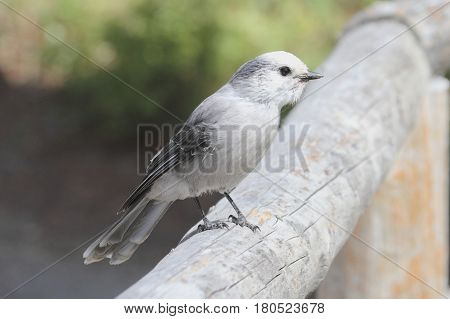 Gray Jay (Perisoreus canadensis) in Yellowstone National Park