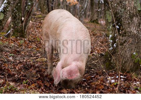 Pig in a mountain forest pigs in snow forest near farm