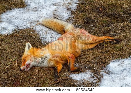 Dead foxes after the hunt in the woods