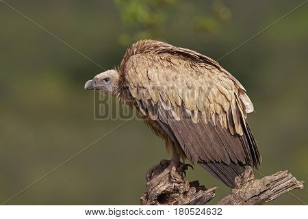 Griffon vulture resting on a branch with vegetation in the background