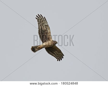 Hen harrier in flight with blue skies in the background
