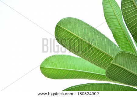 close up of the leave texturethe green leave isolated on white background