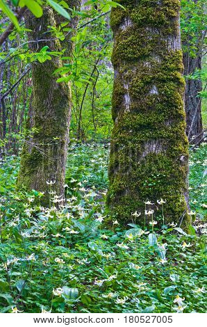 Trees in forest surrounded by a meadow of white fawn lily flowers in a vertical position