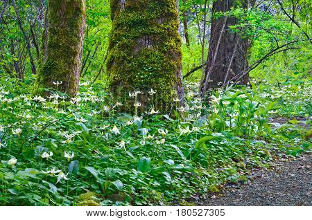 Trees in forest surrounded by a meadow of Fawn Lily flowers