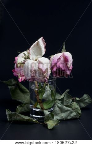 Three wilted roses in a glass of water on a black background surrounded by dried leaves