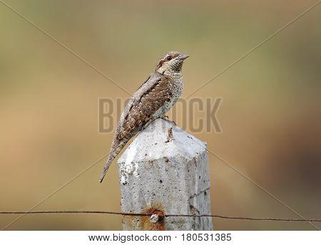 Eurasian wryneck Jynx torquilla Birds of Thailand