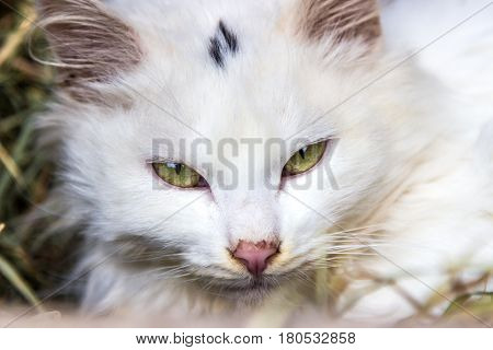 young white cat animal witn green eyes