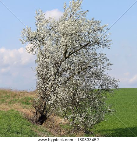 A flowering Prunus mahaleb tree on the roadside