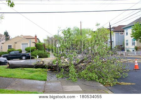 Alameda CA - April 07 2017: Storm damage after 70 mph wind with rain hit the Bay Area overnight. Tree at Edison Elementary School on Buena Vista and Pearl knocked down by the high winds.