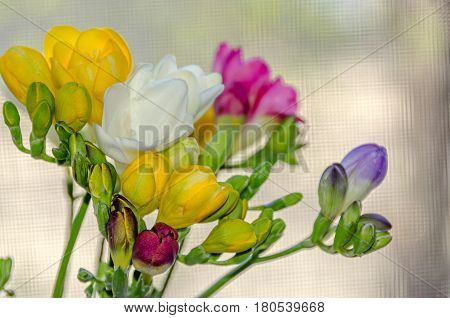 Many Colored Bouquet Freesia Flowers, Window Bokeh Background, Floral Arrangement Close Up