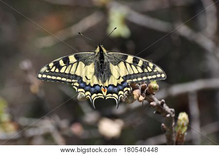 Common Yellow Swallowtail butterfly, Papilio machaon. Butterfly on branch with a dark background