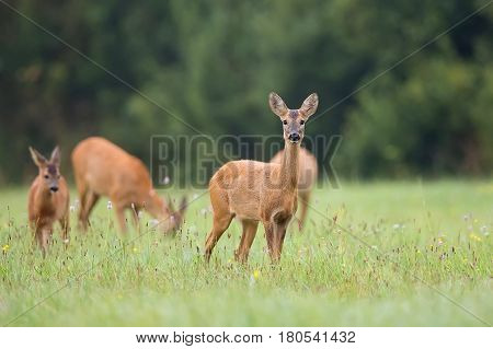 Roe-deer with family in the wild in a clearing