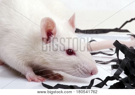 albino lab rat with red eyes, closeup