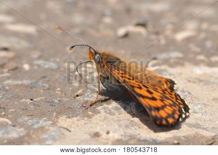 The heath fritillary (Melitaea athalia) On the ground