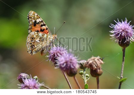 Painted Lady,Vanessa cardui, extracting nectar from an flower