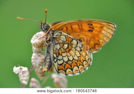The heath fritillary (Melitaea athalia) on wild grass with beautiful green background.