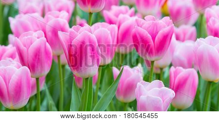 holiday or birthday square background with beautiful closeup pink with white tulips flowerbed