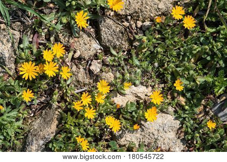 Flower nature background with Yellow Calendula Arvensis flowers from the wildflower species of Cyprus nature