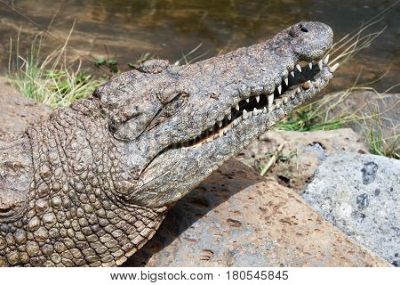 close-up photo of alligator head with open jaw
