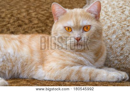 Red cat breeds Scottish-straight lies on the couch