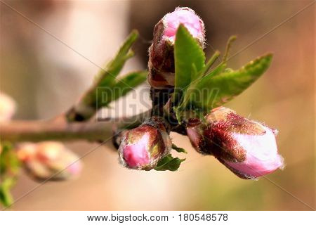 Trees are blooming. Here are already blooming trees and bushes. The first blossom of apricot and peach, followed by Chinese cherry. Pink and white flowers in perfect harmony among themselves.