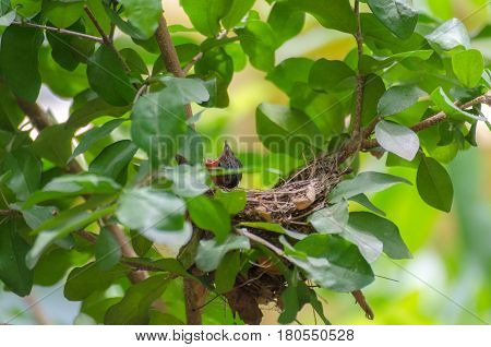 little bird open mount waiting for food from mother in nest on tree soft focus selective focus.