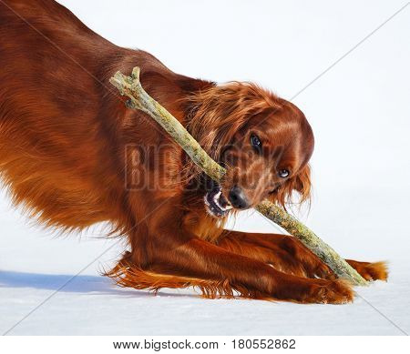 Dog breed Irish Red Setter gnaws stick. Wintertime horizontal outdoors image.