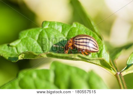 Potato Beetle On The Potato Leaf Close Up Micro View