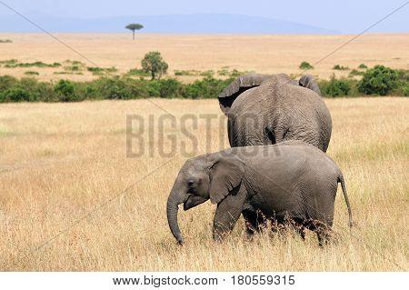 Elephant Baby with Mother on the Savannah. Maasai Mara Kenya
