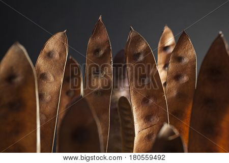 Brown acacia seedpods standing against a dark background