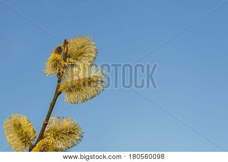 Spring background with catkins on a branches and blue sky arround.