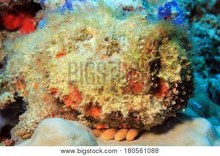 Close-up of a Stonefish (Synanceia Verrucosa) South Ari Atoll Maldives