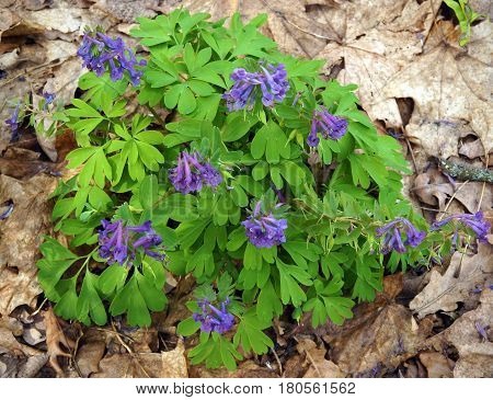Flowering purple Corydalis solida plants in spring forest