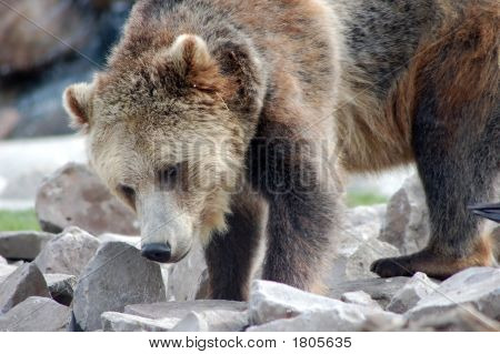 Bearly Investigating